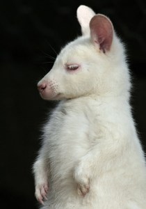 wallaby1