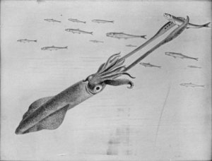 10-armed-squid-capturing-fish
