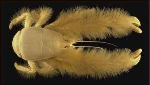 yeti-crab