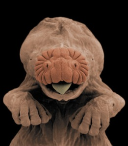 star nose mole embryo