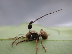 cordyceps-unilateralis