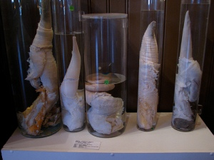 penis-museum