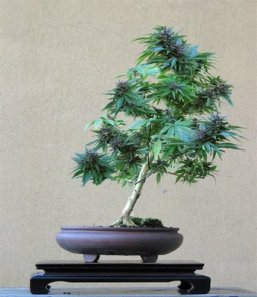 Cannabis_sativa bonsai