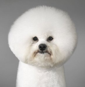 Lion Cut for Dogs Photos http://nursemyra.wordpress.com/category/high-fashion/